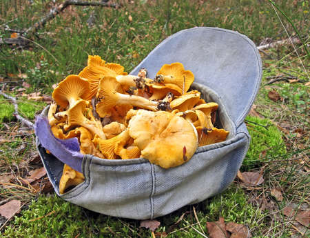 seasonable: fresh edible yellow chanterelle in blue with cap as container, seasonable mushroom details