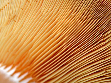 lamellar: abstract lamellar fungus closeup, fall season details