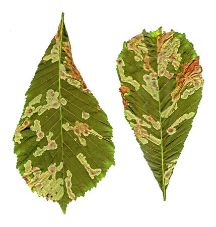 green linden leafs random damaged with bacteria closeup isolated on white background, summer stress environment diversity