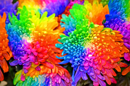 chrysanthemum rainbow closeup, different flowers color diversity Фото со стока