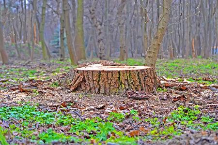 sawn oak tree stump closeup in the forest, illegal logging and vandalism, environment destruction diversity