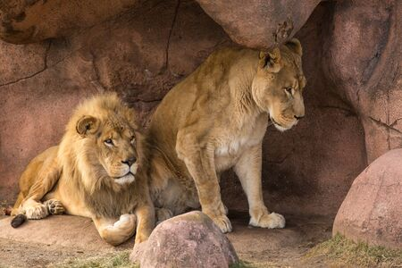 Lion and Lioness Reklamní fotografie