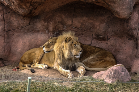 lioness: Lion and Lioness Stock Photo