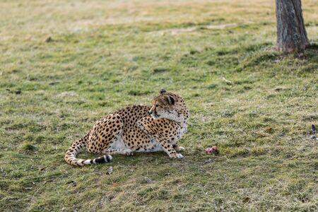 Cheetah Reklamní fotografie - 54158013