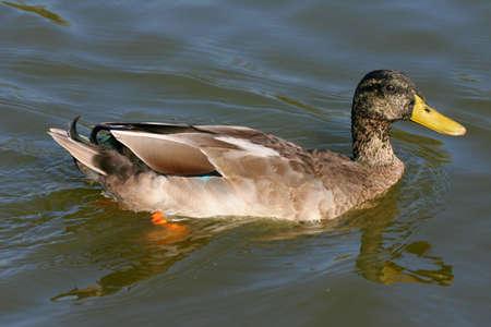swimming duck photo