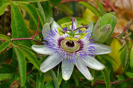 passiflora: Passiflora caerulea, the Blue passionflower, family Passifloraceae