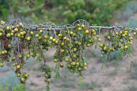 enebro: Juniperus macrocarpa, el enebro de frutos grandes, de la familia Cupressaceae