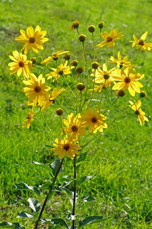 helianthus: Helianthus tuberosus, the Jerusalem artichoke or Tpinambour, from the family Asteraceae