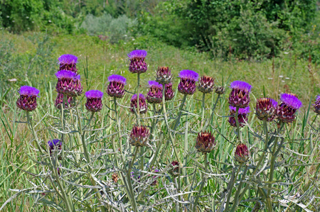 cardunculus scolymus: Purple flower heads of Cynara scolymus, the Globe Artichoke, Asteraceae