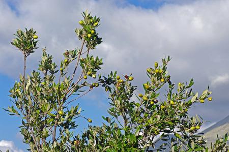 quercus: Quercus ilex, the Holm oak or holly oak, family Fagaceae, with acorns