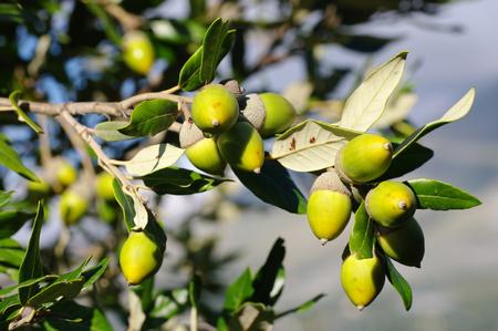 Quercus ilex, the Holm oak or holly oak, family Fagaceae, with acorns
