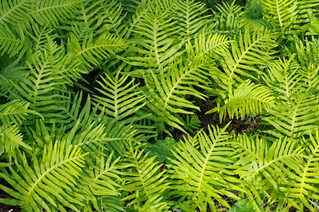 This is Polypodium cambricum, the Southern polypody polypody or Welsh, from the family Polypodiaceae native to southern and western Europe