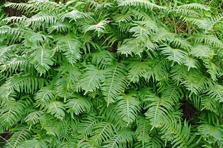 This is the Polypodium cambricum, the Southern polypody polypody or Welsh, from the family Polypodiaceae native to southern and western Europe
