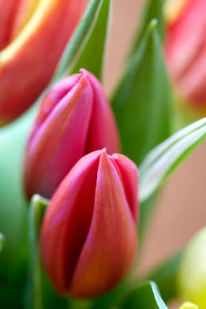 closeup of colorful tulips spring time