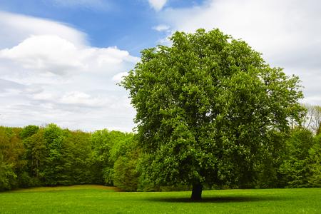 single chestnut tree on green meadow