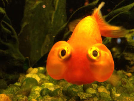 otganimalpets01: Gold Fish