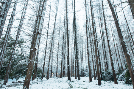 winter forest trees Stock Photo
