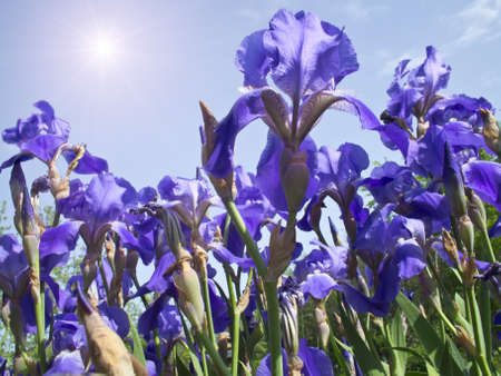 a field of irises on a warm summer day photo