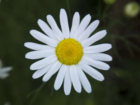 the core of a snow-white daisy close-up photo