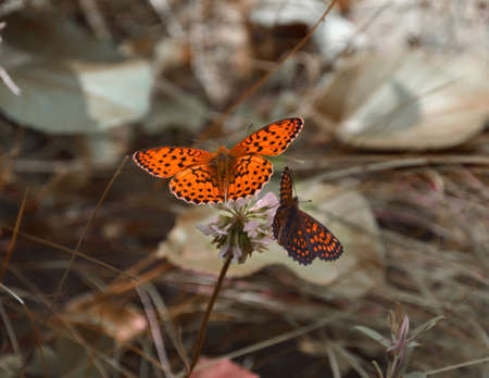 A date of two butterflies on one flower