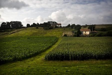 Fields of maize(corn) in a farm Asturias, north of Spain Standard-Bild