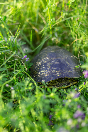Hidden little turtle in the green grass