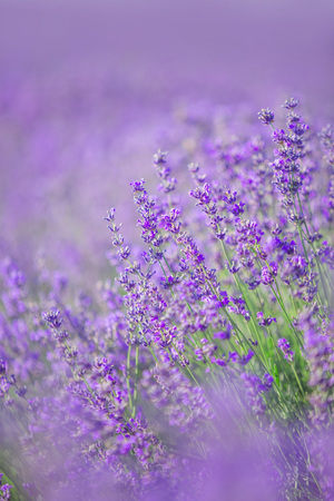 Lavender flowers in a soft focus, pastel colors and blur background. Space for text Stock Photo