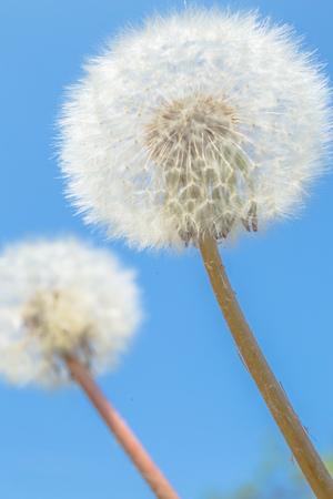 Beautiful dandelion flowers sky blue background, vintage card, macro. Natural background. Springtime concept.