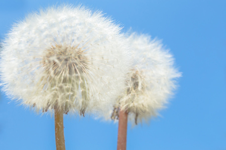 Macro Photo of two nature white flowers blooming dandelion on beautiful blue sky. Background Beautiful blooming bush of white fluffy dandelions. Horizontal photo