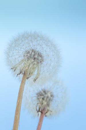 Beautiful dandelion flowers sky blue background, vintage card, macro. Natural background. Springtime concept. Verticalphoto
