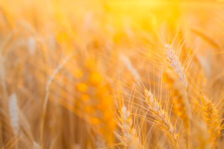 Backdrop of ripening ears of yellow wheat field on the sunset cloudy orange sky background with copy space