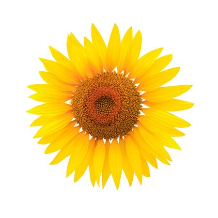 Flower of sunflower isolated on white background. Seeds and oil