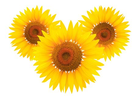 Bright studio shot of a large beautiful sunflower on white background