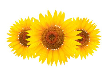 Bright studio shot of a large beautiful sunflower isolated on white background.