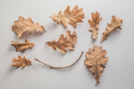 Set of dryed orange autumn oak leafes over the white background.