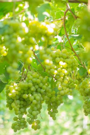 Sweet and tasty white grape bunch on the vine.Green grapes on vine, shallow depth of field.