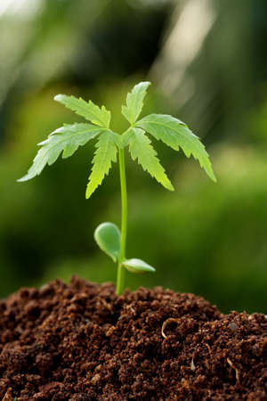neem: neem plant growing from soil- Beginning Stock Photo