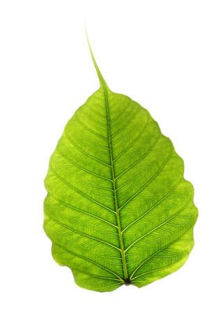 Peepal blad-Ficus religiosa