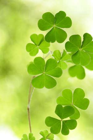fortunateness: Three leaf clovers