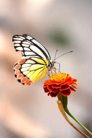 Close-up van de monarch vlinder op een bloem