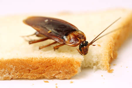 disease control: Close up of cockroach on a slice of bread  Stock Photo