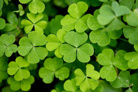 four leafed: Three leaf clovers