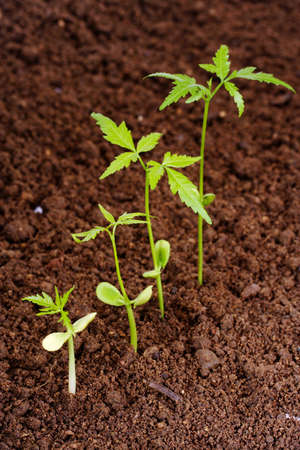 Evaluation Process-Stages of the plant development  photo