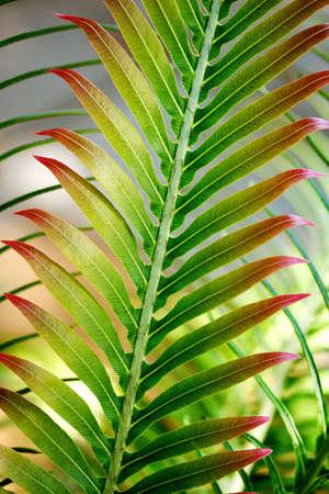 cycad: Palm leaf - cycad frond