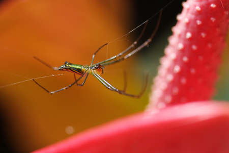 Spider on Red heart shaped  anthurium photo