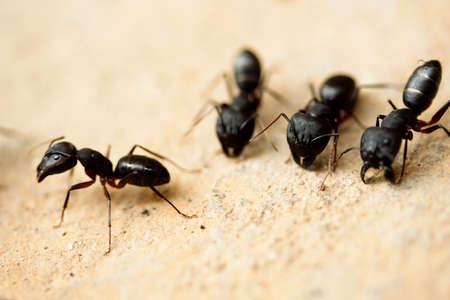 Groupe de fourmis charpentières Banque d'images - 29218545