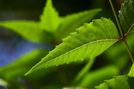 neem: Neem leaves-Azadirachta indica,medicinal plant