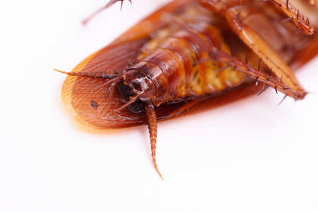 Closeup of cockroach on white background photo