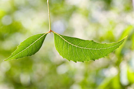 neem: Neem leaf-Azadirachta indica against green Stock Photo
