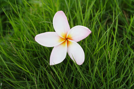 Frangipani op gras Stockfoto